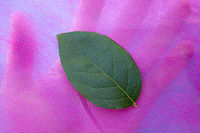 Leafinhand_1